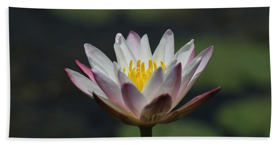 Flower Photographs Bath Sheet featuring the photograph White Lotus by Ramabhadran Thirupattur