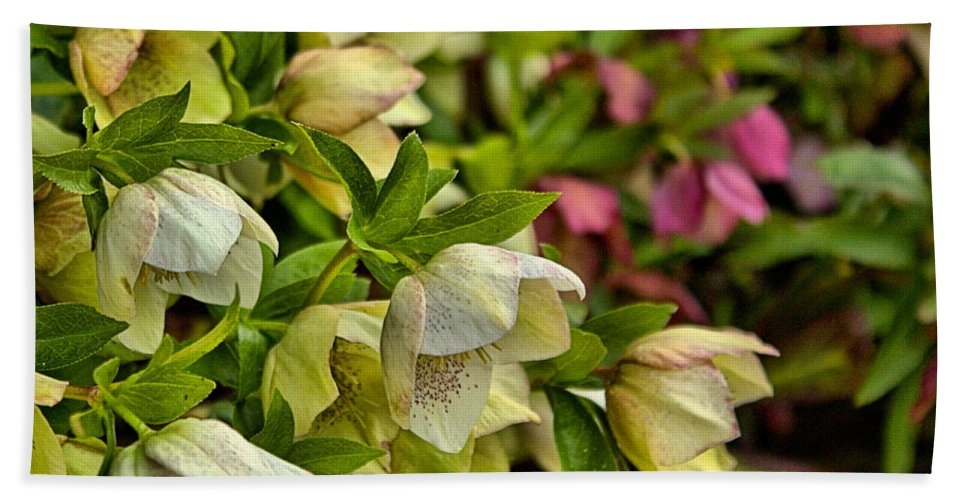 Lenton Roses Bath Sheet featuring the photograph White/pink Lenten Roses by Mel Hensley