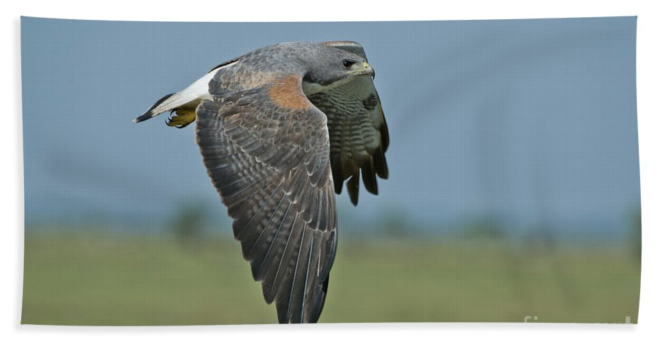 White-tailed Hawk Hand Towel featuring the photograph White-tailed Hawk by Anthony Mercieca