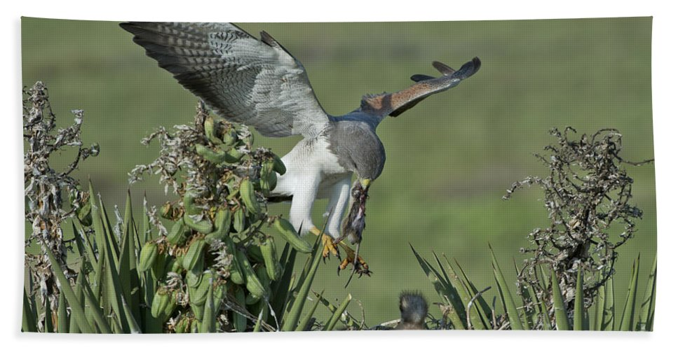 White-tailed Hawk Hand Towel featuring the photograph White-tailed Hawk At Nest by Anthony Mercieca