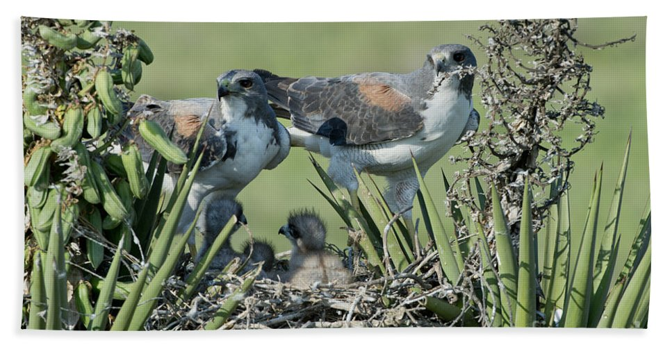 White-tailed Hawk Hand Towel featuring the photograph White-tailed Hawk Family by Anthony Mercieca