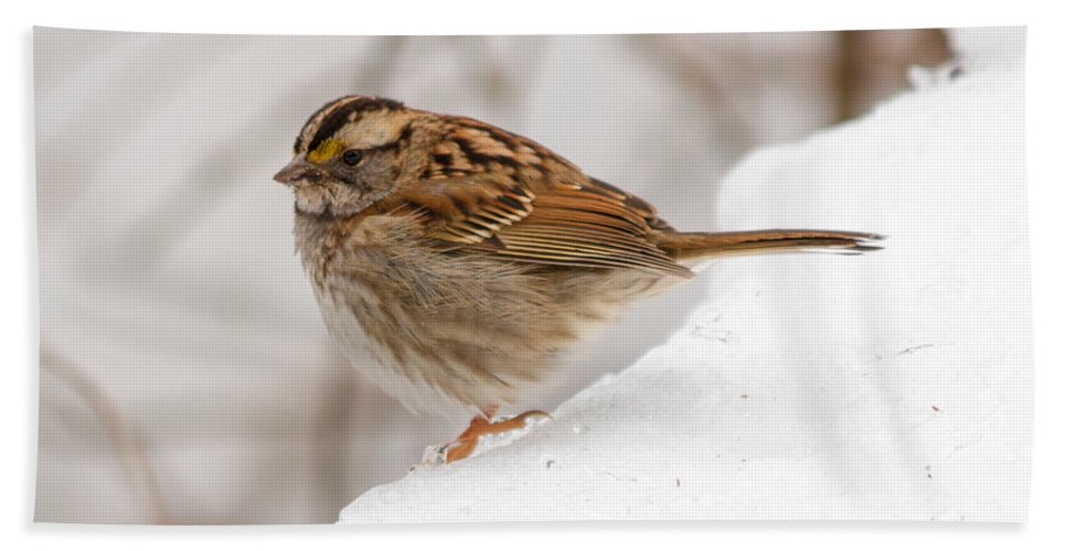 Bird Hand Towel featuring the photograph White-throated Sparrow by Gaurav Singh