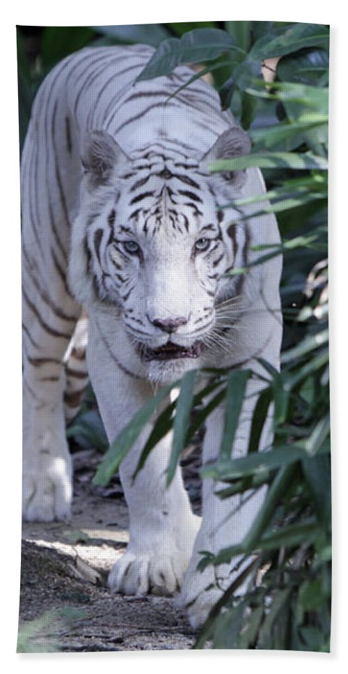 White Tiger Hand Towel featuring the photograph White Tiger by Shoal Hollingsworth