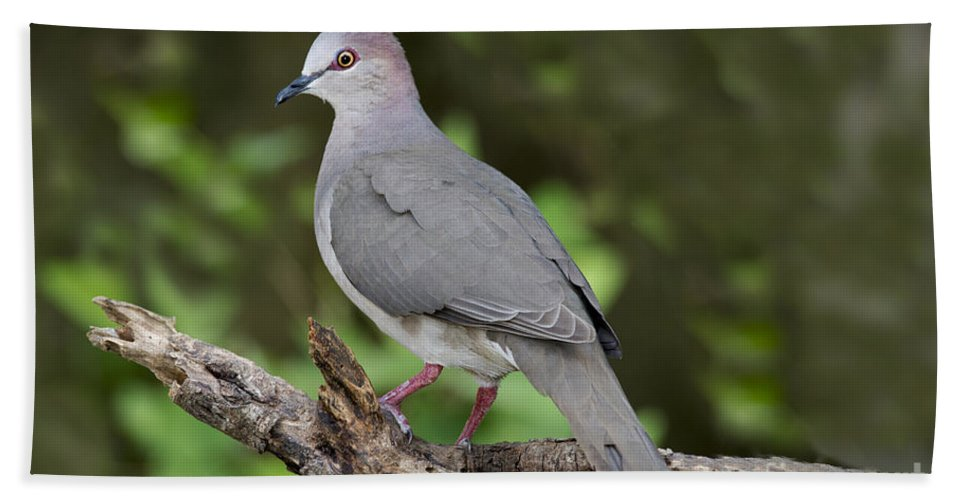 White-tipped Dove Hand Towel featuring the photograph White-tipped Dove by Anthony Mercieca