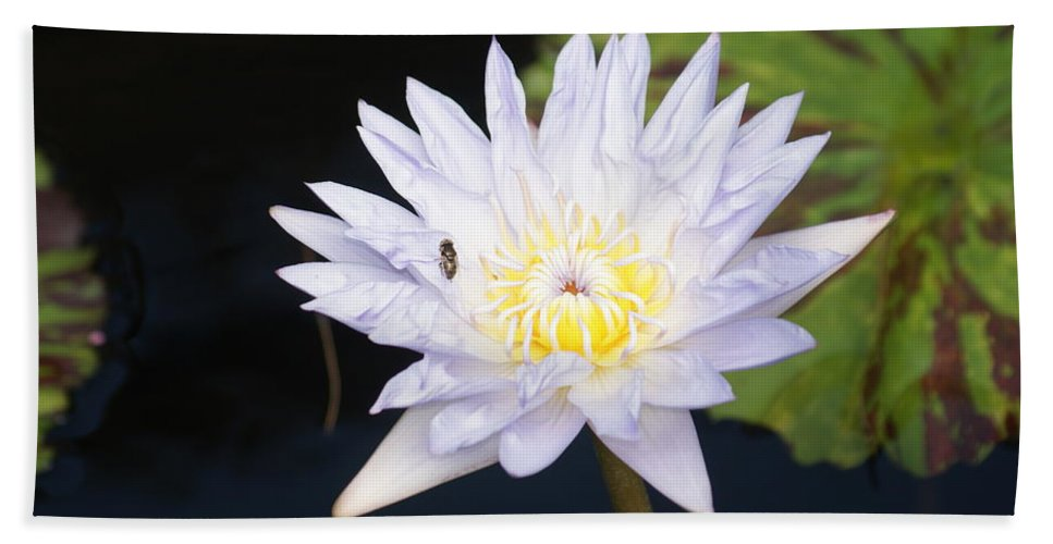 White Bath Sheet featuring the photograph White Waterlily With Fly...  # by Rob Luzier