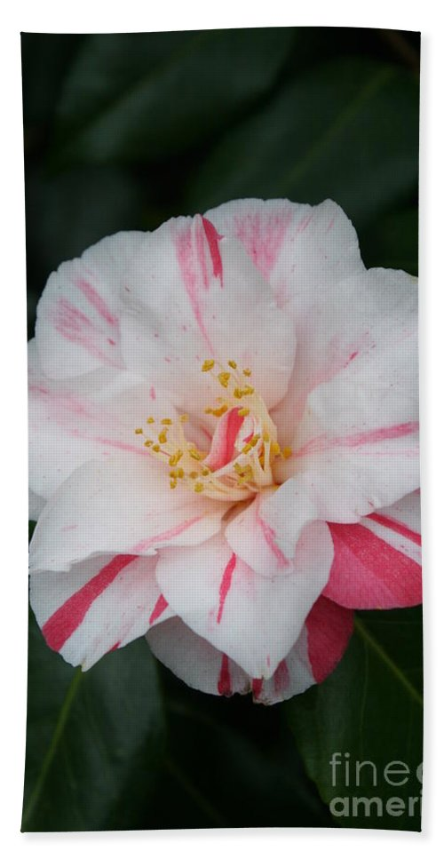 White Camellia Hand Towel featuring the photograph White With Pink Camellia by Christiane Schulze Art And Photography