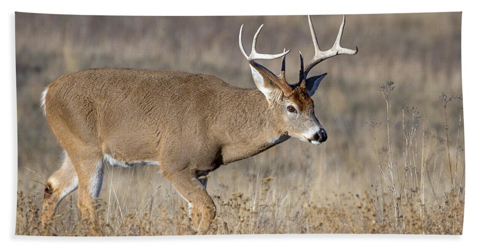 Deer Bath Sheet featuring the photograph Whitetail Buck On The Move by Jack Bell