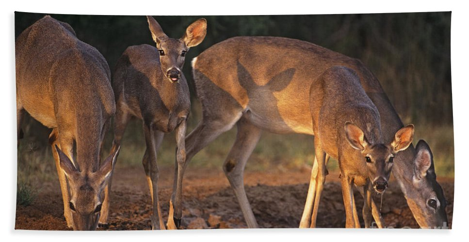 North America Hand Towel featuring the photograph Whitetail Deer At Waterhole Texas by Dave Welling