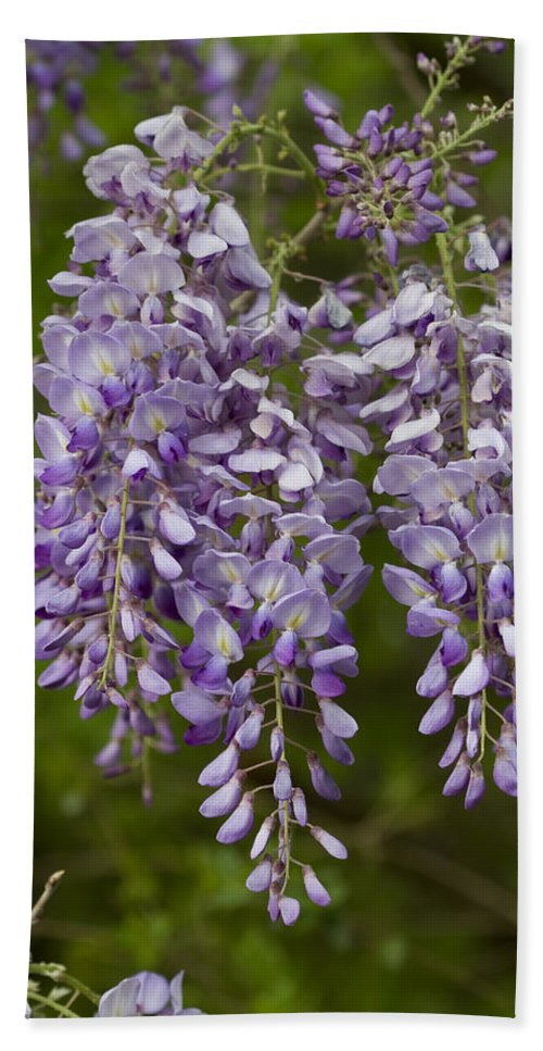 Wisteria Frutescens Bath Sheet featuring the photograph Wild Alabama Wisteria Frutescens Wildflowers by Kathy Clark