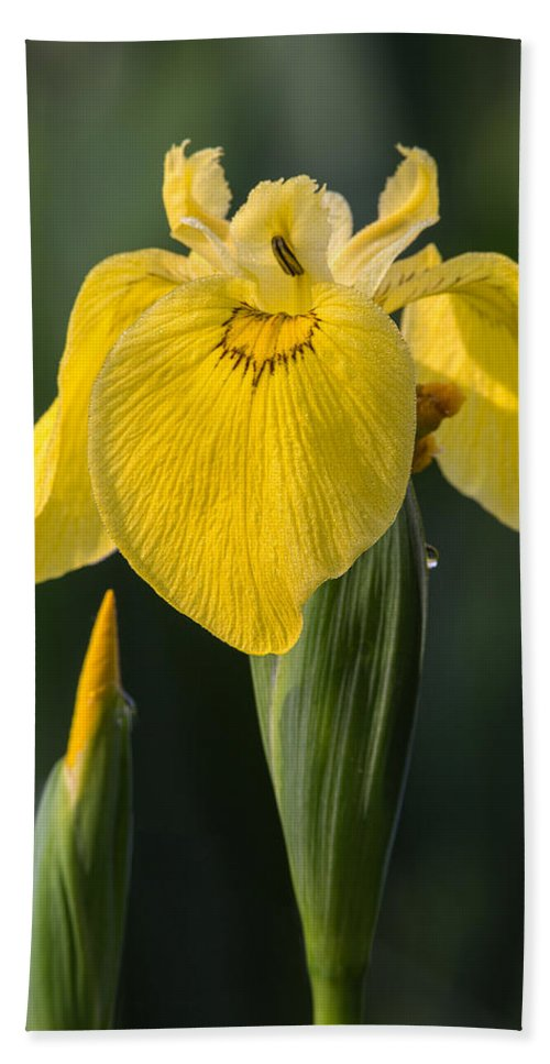 Wild Yellow Iris Hand Towel featuring the photograph Wild Yellow Iris by Dale Kincaid