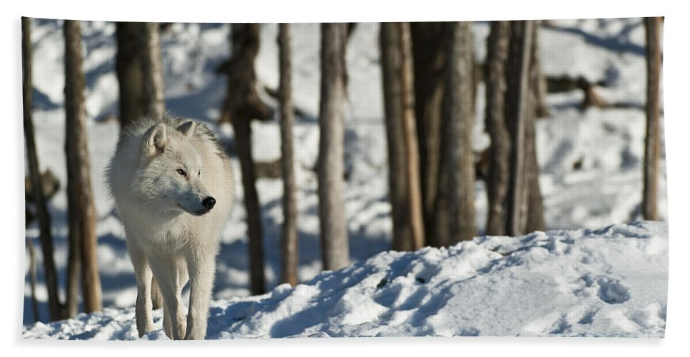 Arctic Wolf Photography Bath Sheet featuring the photograph Winter Arctic Wolf by Wolves Only