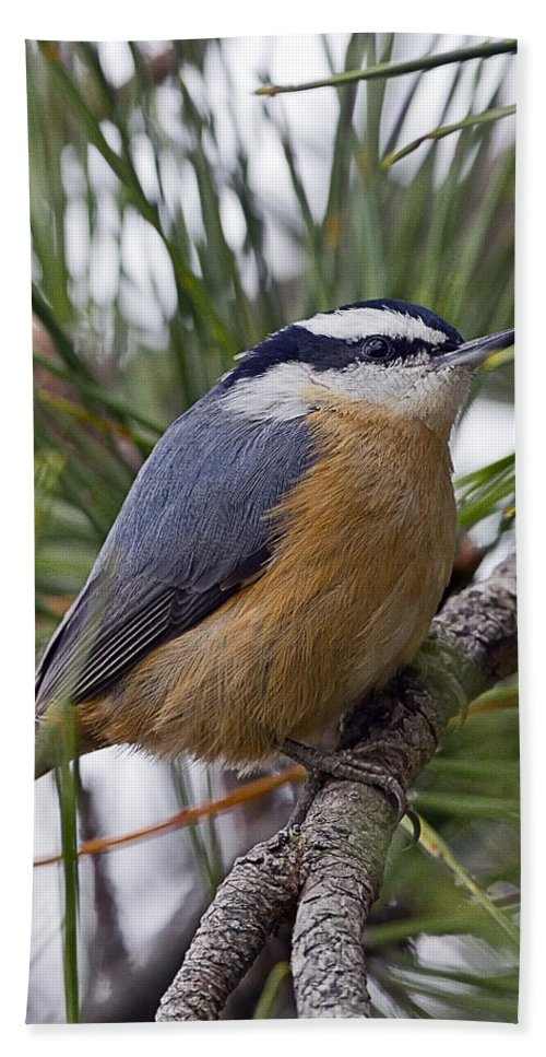 Red Breasted Nuthatch Hand Towel featuring the photograph Winter Visitor - Red Breasted Nuthatch by John Vose