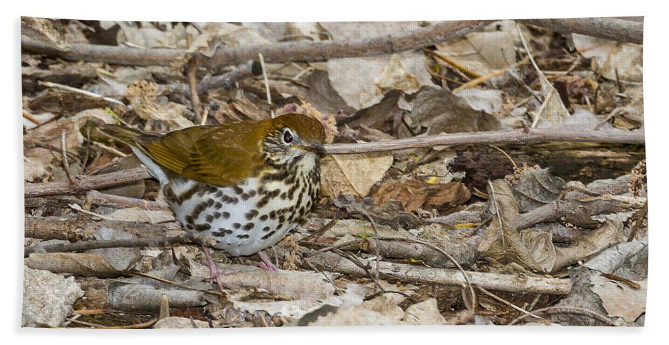 Animal Bath Sheet featuring the photograph Wood Thrush by Jack R Perry