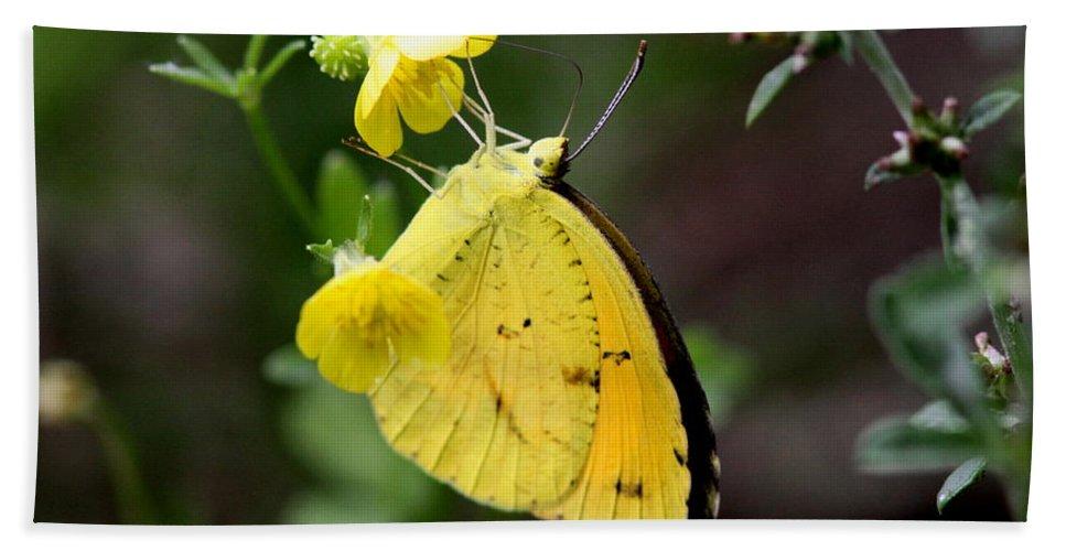 Yellow Sulphur Butterfly Bath Sheet featuring the photograph Yellow And Yellow Sulphur Butterfly by Travis Truelove