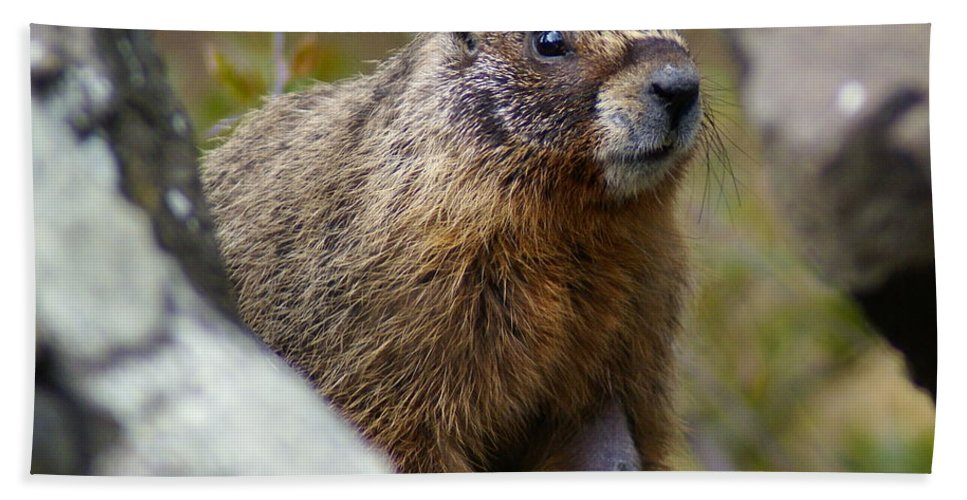 Spokane Hand Towel featuring the photograph Yellow-bellied Marmot by Ben Upham III