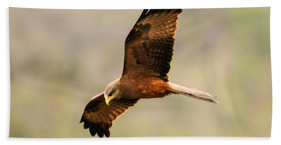 Africa Bath Sheet featuring the photograph Yellow Billed Kite 5 by Alistair Lyne