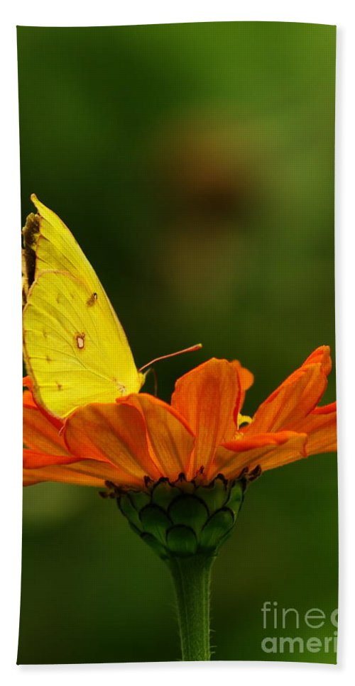 Yellow Cabbage Moth Bath Sheet featuring the photograph Yellow Cabbage Moth by Kitrina Arbuckle