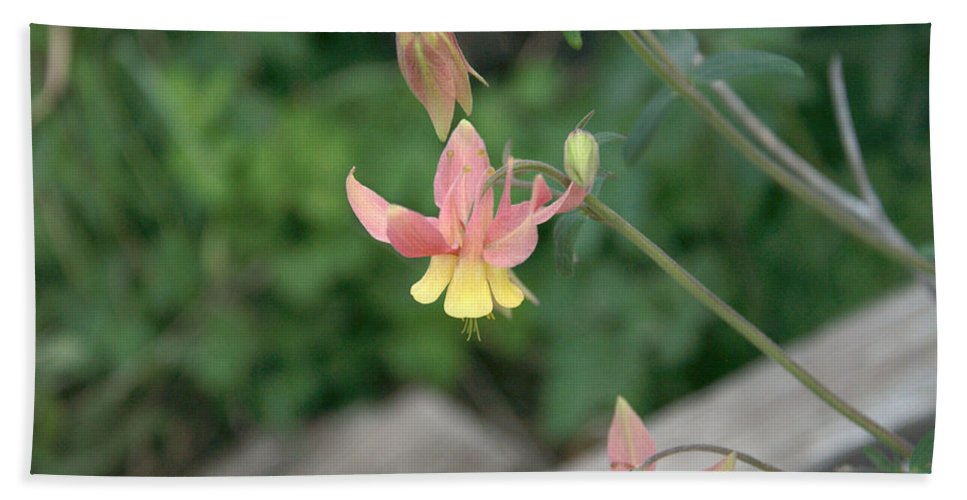 Yellow Bath Towel featuring the photograph Yellow Columbine 2 by Frank Madia