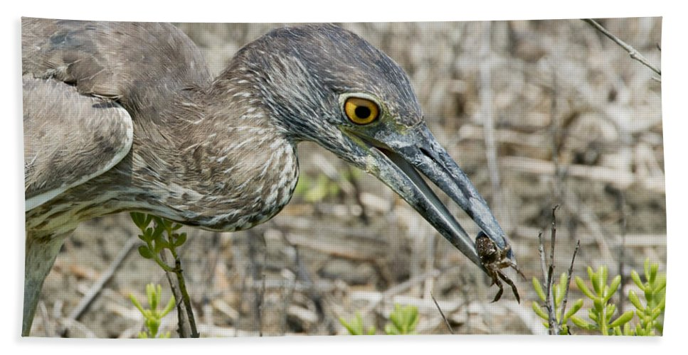 Yellow-crowned Night Heron Hand Towel featuring the photograph Yellow-crowned Night Heron With Crab by Anthony Mercieca
