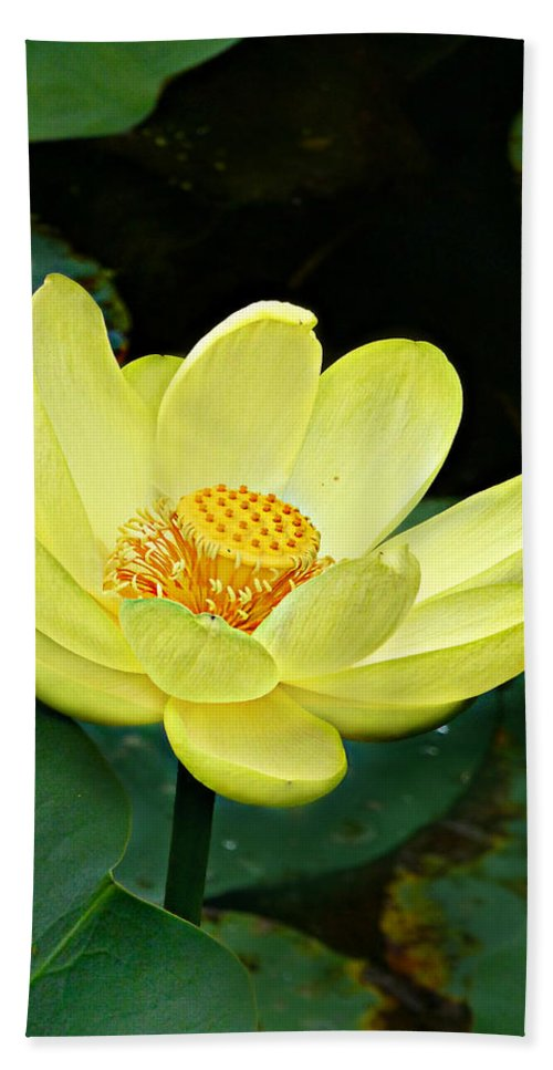 Nelumbo Lutea Hand Towel featuring the photograph Yellow Lotus by William Tanneberger