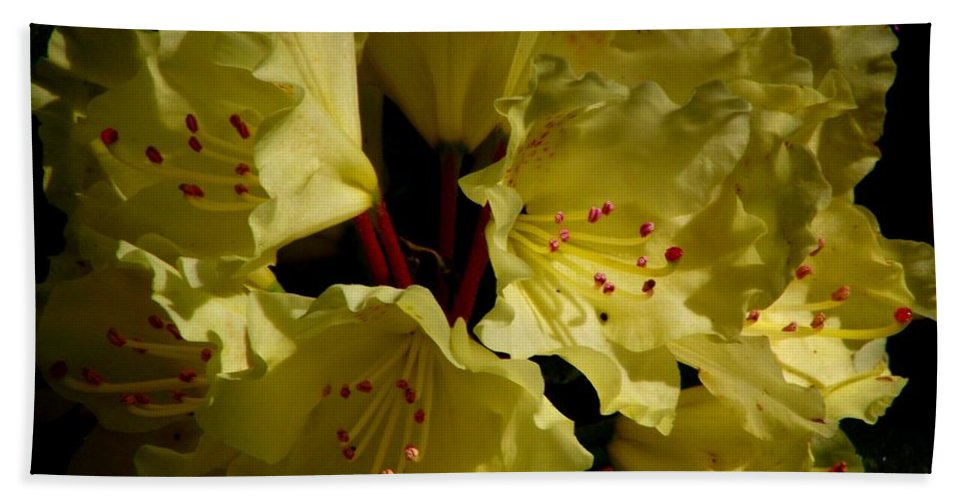Yellow Rhododendron Bath Sheet featuring the photograph Yellow Rhododendron by CapeScapes Fine Art Photography