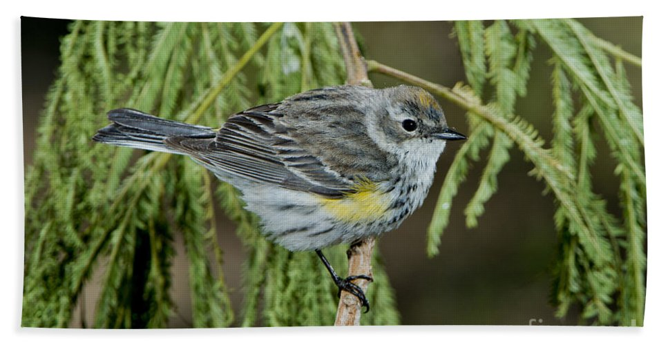 Yellow-rumped Warbler Hand Towel featuring the photograph Yellow-rumped Warbler by Anthony Mercieca