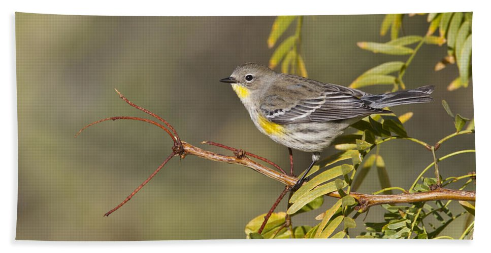 Yellow Rumped Warbler Bath Sheet featuring the photograph Yellow Rumped Warbler by Bryan Keil