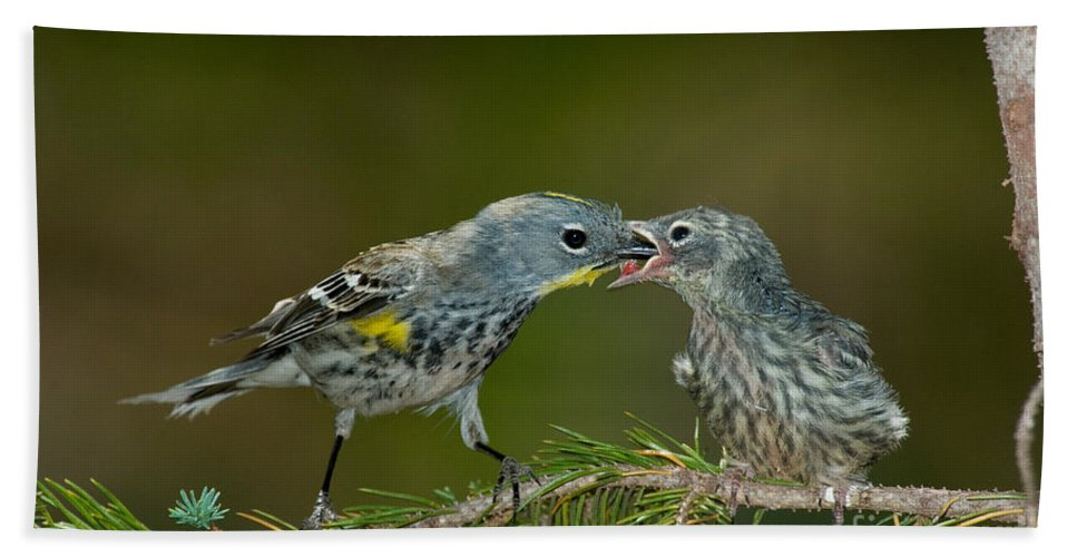Fauna Hand Towel featuring the photograph Yellow-rumped Warbler Feeding Young by Anthony Mercieca