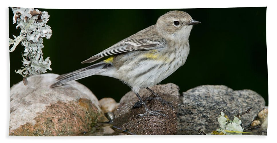 Yellow-rumped Warbler Hand Towel featuring the photograph Yellow-rumped Warbler Hen by Anthony Mercieca