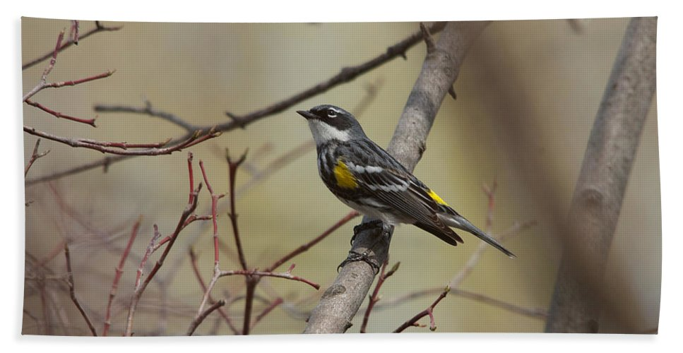 Songbird Hand Towel featuring the photograph Yellow Rumped Warbler by Tim Schmidt