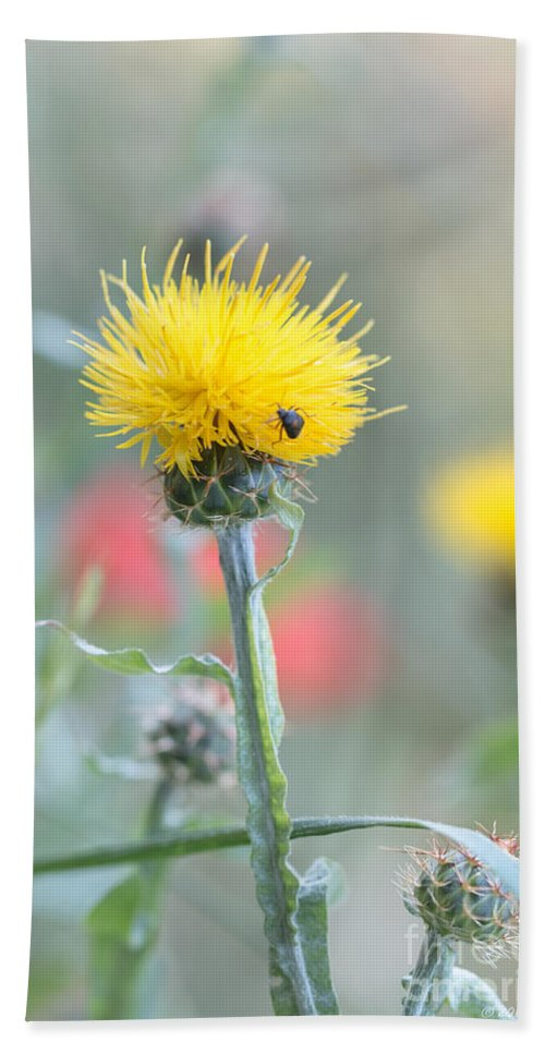Asterales Bath Sheet featuring the photograph Yellow Star-thistle by Jivko Nakev