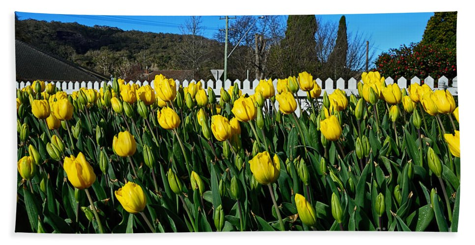 Photography Bath Sheet featuring the photograph Yellow Tulips Before White Picket Fence by Kaye Menner