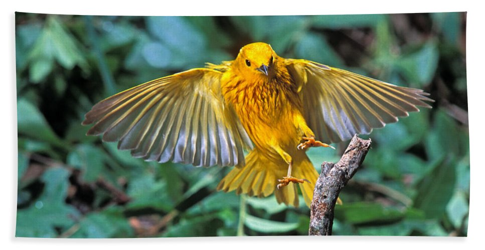 Fauna Hand Towel featuring the photograph Yellow Warbler Dendroica Petechia by Anthony Mercieca