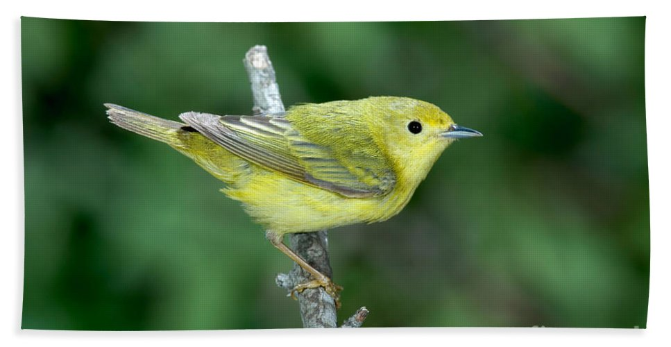 Fauna Hand Towel featuring the photograph Yellow Warbler Dendroica Petechia Female by Anthony Mercieca