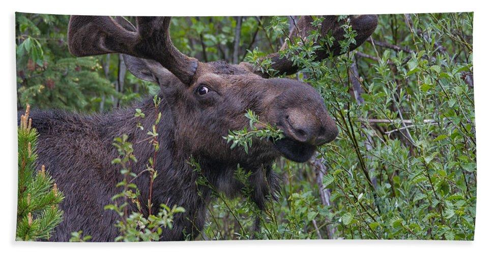 Yellowstone Wildlife Hand Towel featuring the photograph Yellowstone Munching Moose by Martin Belan