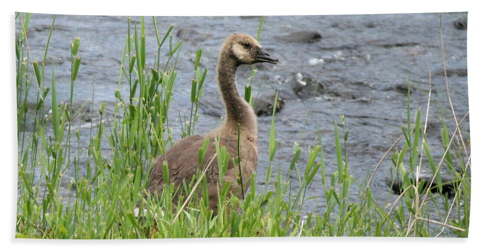 Canadian Geese Hand Towel featuring the photograph Young Canadian Goose by Neal Eslinger