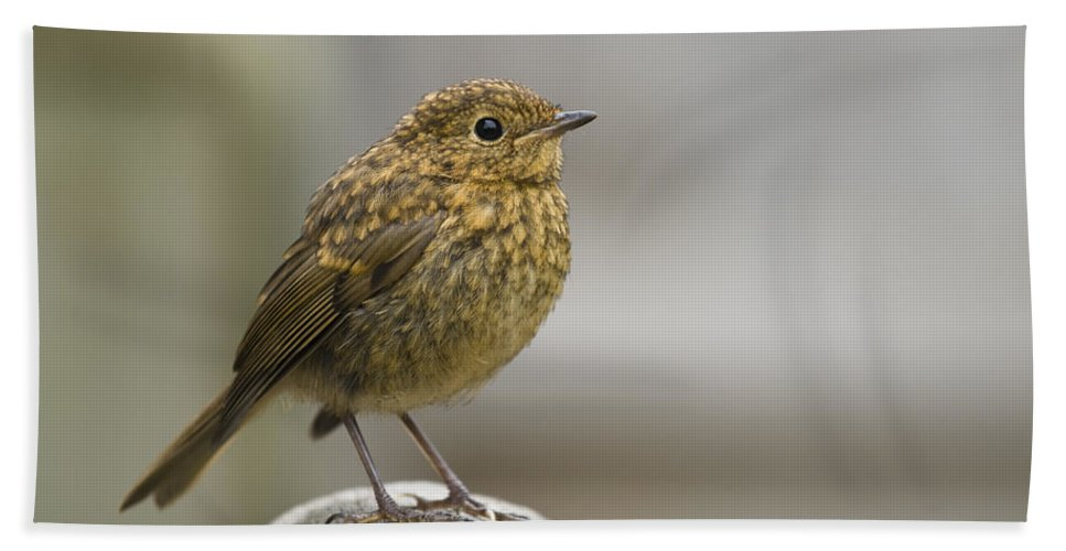 Bench Bath Sheet featuring the photograph Young Robin by Anne Gilbert