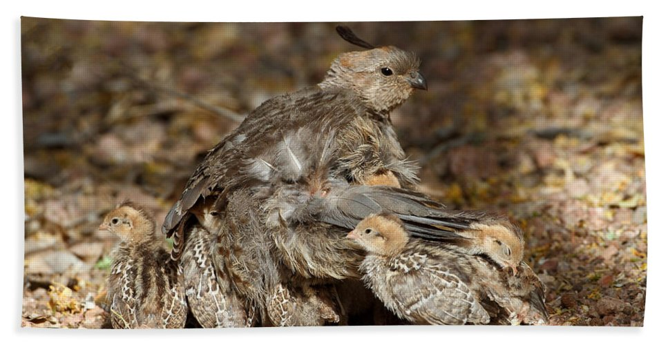 Quail Bath Sheet featuring the photograph Your Safe Now by Bryan Keil