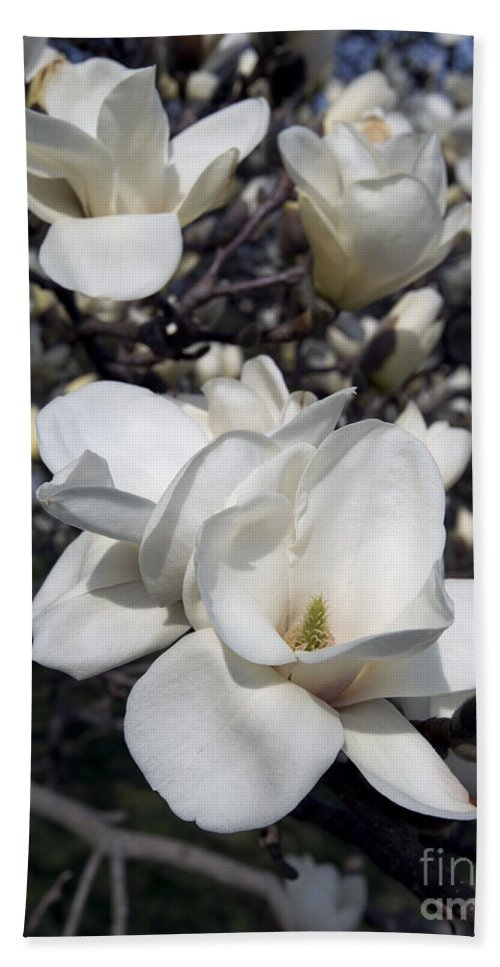 Spring Bath Sheet featuring the photograph Yulan Magnolia 4753 by Terri Winkler