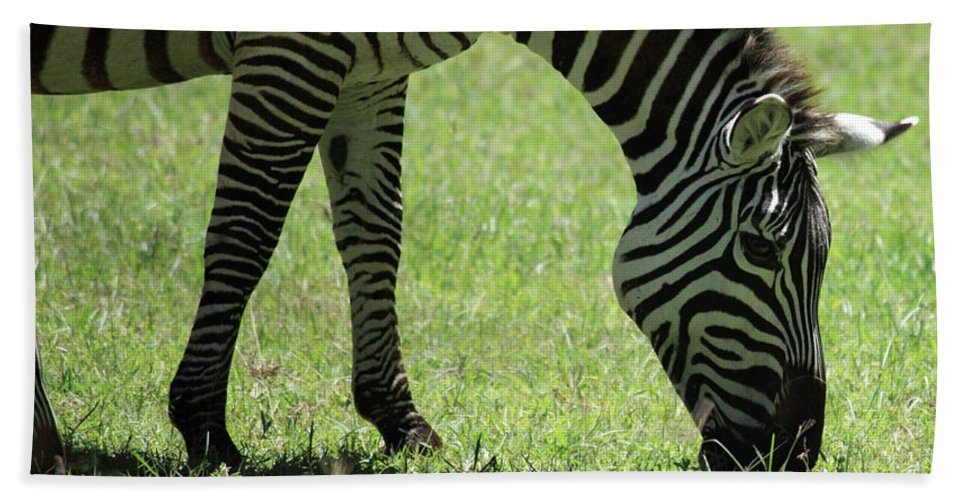 Africa Hand Towel featuring the photograph Zebra Eating Grass by Deborah Benbrook