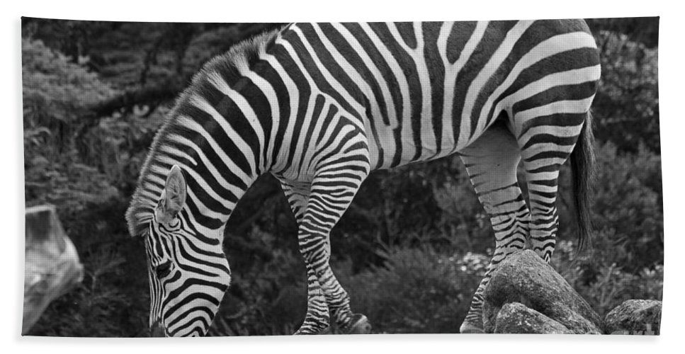 Kate Brown Bath Sheet featuring the photograph Zebra In Black And White by Kate Brown