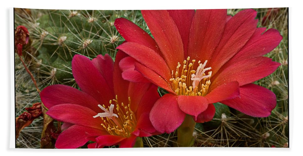 Cactus Hand Towel featuring the photograph Cacti Bloom by Beverly Cash