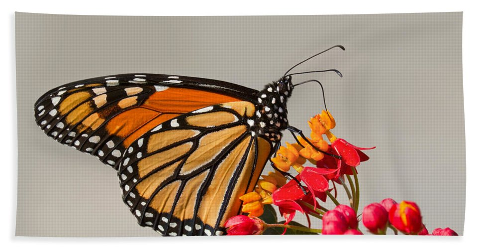 Monarch Bath Sheet featuring the photograph Monarch Butterfly by Mircea Costina Photography