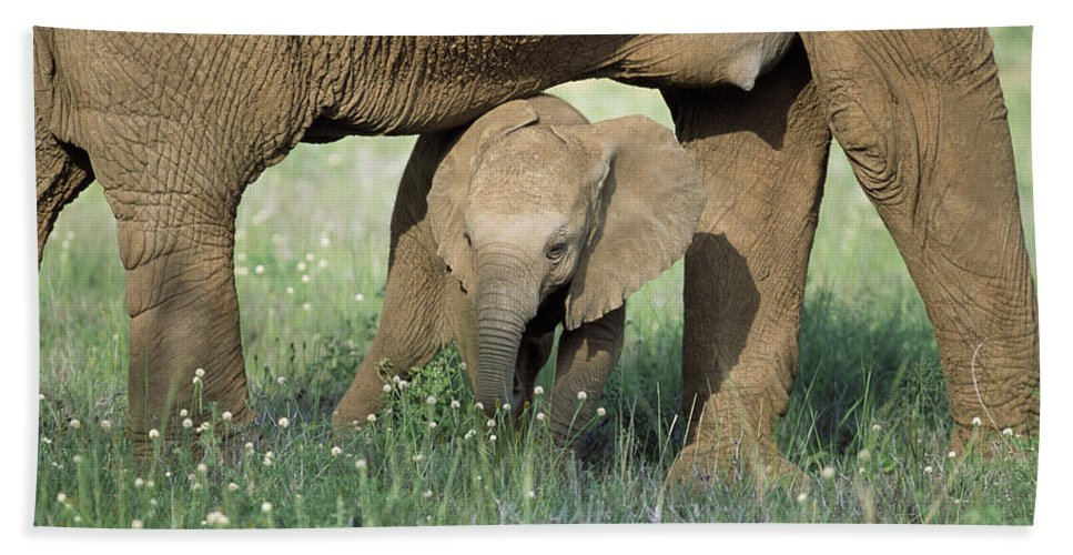 Npl Hand Towel featuring the photograph African Elephant Loxodonta Africana by Karl Ammann