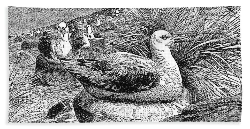 19th Century Hand Towel featuring the photograph Albatross by Granger