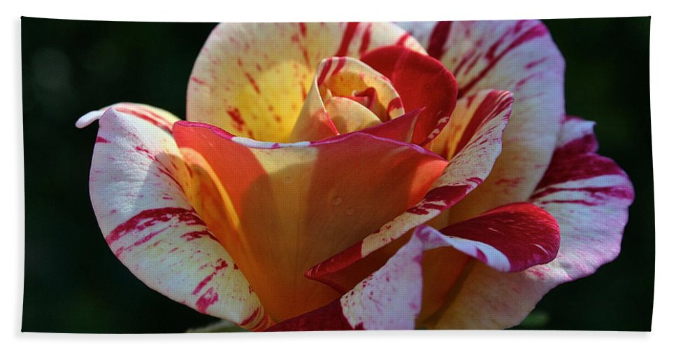 Outdoors Bath Sheet featuring the photograph All American Magic Rose by Susan Herber