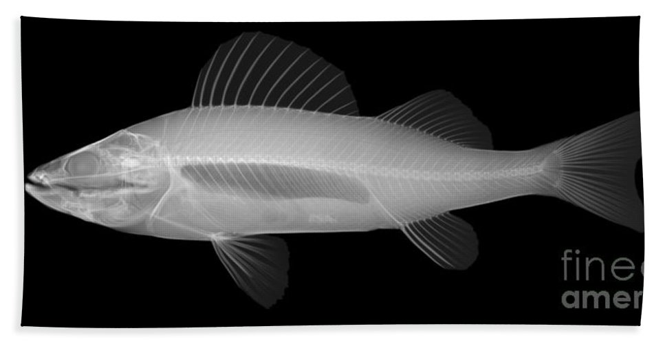 Xray Hand Towel featuring the photograph An X-ray Of Yellow Perch by Ted Kinsman