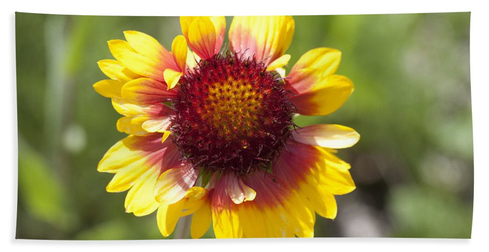 Mp Hand Towel featuring the photograph Annual Coreopsis Coreopsis Tinctoria by Matthias Breiter