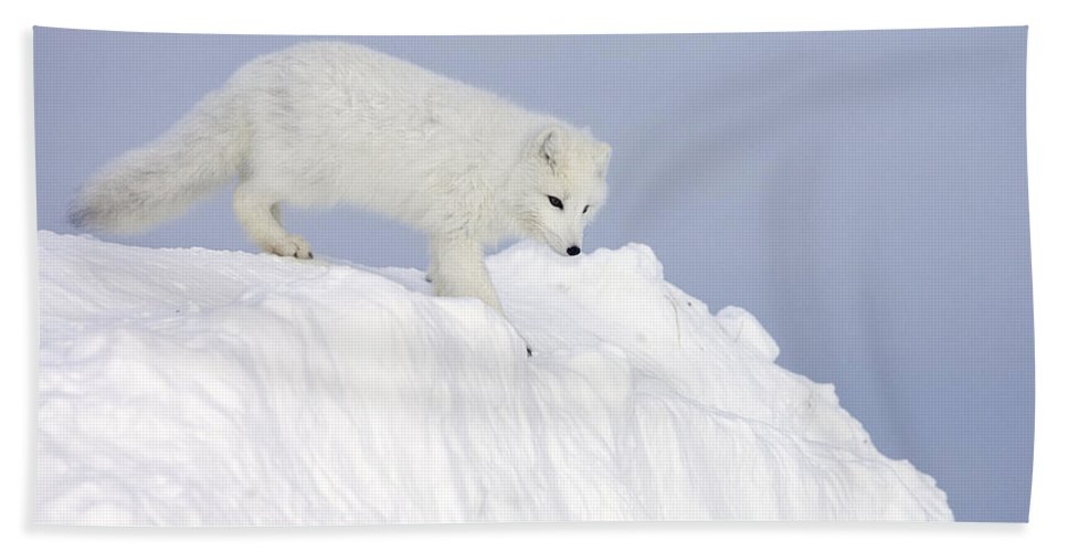 Mp Hand Towel featuring the photograph Arctic Fox Alopex Lagopus On Snow Drift by Matthias Breiter
