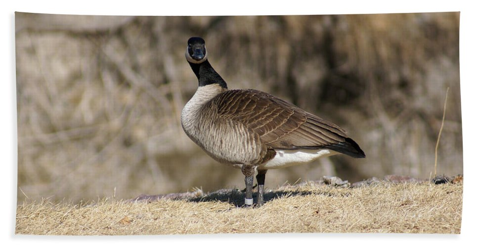 Goose Bath Sheet featuring the photograph Are You Looking At Me by Lori Tordsen